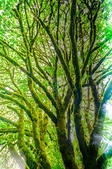 Magic Tree (J*Phillips) Tags: trees light green leaves washington moss magic olympicnationalpark