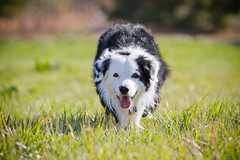 Grass Feels Good (Anda74) Tags: green grass bordercollie ouzo canonef70200mmf28lusm