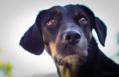 Ser o no Ser (sebasili) Tags: canon 50mm ojos animales mirada perra orejas t1i