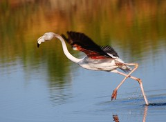 Flamingo (anacm.silva) Tags: wild bird portugal nature birds wildlife flamingo natureza flamingos aves salinas ave phoenicopterusruber greaterflamingo aveiro salinasdeaveiro marinhadatroncalhada