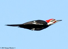 Pileated Woodpecker Male - Bayou Courtableau, Louisiana (Image Hunter 1) Tags: blue red sky nature birds flying louisiana head flight bayou swamp marsh pileatedwoodpecker canoneos7d bayoucourtableau