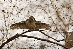 AS_000001783 (dickysingh) Tags: wild india color bird nature horizontal wings eyes display wildlife owl stare predator alert ranthambore spottedowlet athenebrama ranthambhorenationalpark threatdisplay smallowl wwwranthambhorecom