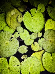 Platelets (Kiki FL) Tags: green apple wet water leaves rain droplets orlando epcot pond florida foliage lilypads wdw waltdisneyworld reflectingpool themepark 4s iphone lakebuenavista chinapavilion nofrog iphoneography
