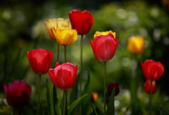Tulip Pleasure (AnyMotion) Tags: flowers plants primavera nature floral colors garden spring colours bokeh frankfurt ngc natur pflanzen blumen npc tulip garten printemps bunt tulipa farben frhling tulpe blten blosoms anymotion 2013 canoneos5dmarkii 5d2