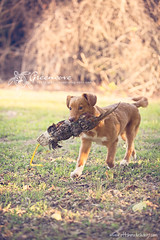 FreyFrey Retrieving (Neptunecocktail) Tags: dog cute nova puppy duck puppies novascotia retriever phesant pup retrieve tolling toller pelt retrieving novascotiaducktollingretriever duckdog
