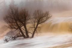 { Against The Current } (Boreal Bird) Tags: tree fog floodway hss stlouisriver springmelt thomsondam againstthecurrent sliderssunday