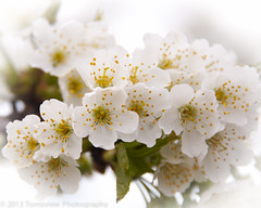 Cherry Blossoms (samoht35) Tags: usa white flower detail tree closeup mi cherry nikon unitedstates blossom michigan traversecity macrocloseup d700 thomasdetert