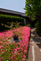 DSC_0054 (tanny ) Tags: trip blue winter red orange flower green nature rose japan season lens temple tokyo spring nikon view zoom may scene azalea 2013 gettyimagesjapan13q1