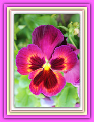 Hugs & Kisses (bigbrowneyez) Tags: pink flowers macro green love beautiful petals warm dof purple bright bokeh gorgeous rich pansy kisses frame mauve glowing hugs colourful fiori delicate belli breathtaking hugskisses delightful uplifting colorati bellissimi