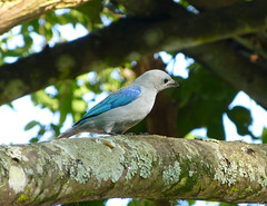 Azulejo, Blue-gray Tanager (Thraupis episcopus) (Francisco Piedrahita) Tags: birds colombia aves azulejo bluegraytanager thraupisepiscopus