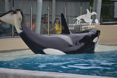 (Megakillerwhales) Tags: california nikon whale whales orca seaworld shamu orkid killerwhale orcas killerwhales nakai seaworldsandiego keet babyk shouka kassy kalia orcawhales ulises ikaika shamushow orcawhale corky2 seaworldcalifornia oneocean orcashow kasatka shamurocks nikond3100 nalanidreamer megakillerwhales kasatkasnewcalf