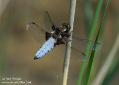 Broad bodied chaser male Libellula depressa-2 (Neil Phillips) Tags: insect dragonfly broad arthropoda invertebrate chaser libellula arthropod odonata libellulidae insecta depressa bodied