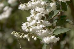 Symphoricarpos albus (storvandre) Tags: flowers italy macro nature canon eos italia liguria ligury varazze 7d dettagli fiori storvandre