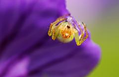 Cucumber spider (Araniella cucurbitina)
