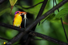 Oriental Dwarf Kingfisher (Sudheendr Bhat . India) Tags: wild india black bird nature beauty colo forest back dwarf colorfull small wing kingfisher catch lovely oriental hunt