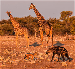 Face-off_DSC1466 (Mel Gray) Tags: nature wildlife giraffe namibia hyena etosha blackbackedjackal