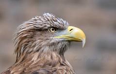 Eagle.! (nondesigner59) Tags: nature closeup eagle predator captive birdofprey whitetailedseaeagle eos50d nondesigner nd59 copyrightmmee