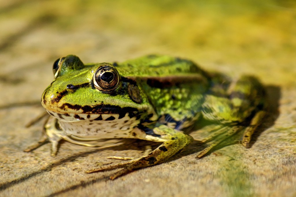 Frog by koudy-vw, on Flickr