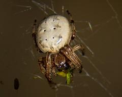 233/365_082113 (Gregg Kiesewetter) Tags: macro spider illinois extensiontubes larinioidescornutus furroworbweaver