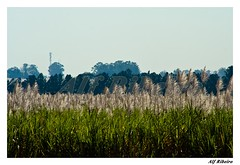 0020 - 0539 (Alf Ribeiro) Tags: brazil planta brasil digital rural flor dia sp amricadosul agricultura canavial lavoura agrcola canadeacar agronegcio florao alfribeiro