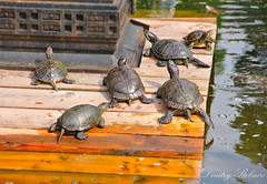 Lovely turtles (Dmitry Stebnev) Tags: sky cloud sun plant tree nature beauty grass leaves night forest canon garden children fun eos pond child time russia turtle moscow magic dream armor shrub wilting 650d
