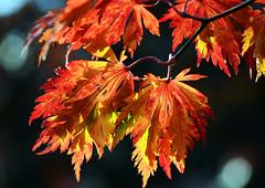 feuriger Herbst (karinrogmann) Tags: leaves foglie herbst blätter autunno autmn abigfave