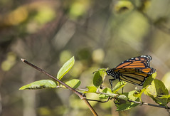 The Monarch (Lyle Glen) Tags: park ontario canada fall nature birds animals butterfly nikon october brighton wildlife 300mm nikkor migration f4 afs provincial presquile 2013 d7100 morarch
