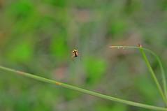 A Ustas Sar akir (Hseyin Baaolu) Tags: nature turkey spider trkiye troia truva biga turkei dardanel doa yellowspider anakkale smcpentaxa50mmf17 pentaxa5017 pegai nikond300s gmay gumuscay hseyinbaaolu huseyinbasaoglu dthseyinbaaolu dthuseyinbasaoglu insectsbcekler