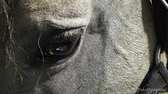equid espace fait son cinma (R7 photographie) Tags: macro cheval oeil photographieanimalire equidespace