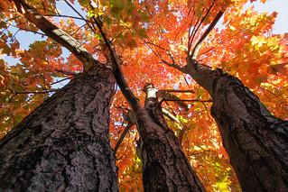 Fall Maple & Sky 2