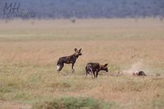 5D3_7096-Flickr (DocMac71) Tags: wild dog african afrikanischer wildhund