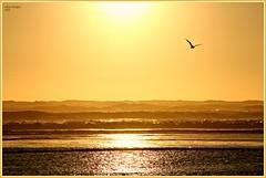 sunset gold! (MEA Images) Tags: ocean sunset summer sun beach canon washington seagull tide pacificocean pacificnorthwest washingtonstate oceanshores canoneos60d mygearandme mygearandmepremium mygearandmebronze mygearandmesilver mygearandmegold mygearandmeplatinum mygearandmediamond picmonkey:app=editor vision:text=0582 vision:sunset=0896 vision:outdoor=0634 vision:sky=0892 vision:clouds=0693
