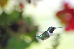 Colibr (Explore) (Jos M. Arboleda) Tags: bird canon eos colombia hummingbird jose ave 5d colibr arboleda markiii trochilidae ef400mmf56lusm apodiforme mygearandme josmarboledac blinkagain troquilinos