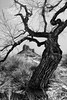 Wicked Tree (Jeff Clow) Tags: tree nature landscape moabutah professorvalley ©jeffrclow jeffclowphototours moabphototour