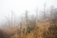 Dying Fir Trees #1 (DMac 5D Mark II) Tags: tree heritage nature fog dead island site hiking foggy un trail korean fir species endangered dying southkorea jeju iucn abieskoreana yeongsil uneseco internationalunionfortheconcervationofnature
