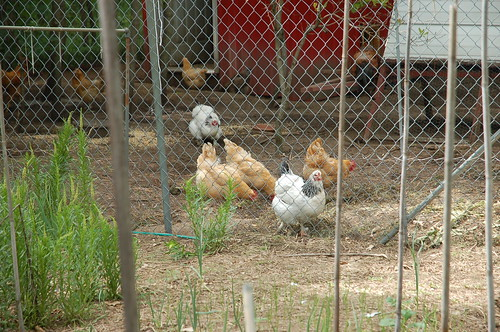 "Chickens <a style=""margin-left:10px; font-size:0.8em;"" href=""http://www.flickr.com/photos/91915217@N00/12356339744/"" target=""_blank"">@flickr</a>"