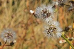 Ti prendo e ti porto via (Erica Zanella) Tags: flowers italy flower italia fiori fiore rocca abruzzo laquila soffione calascio soffioni canon60d pleiadi22 ericazanella