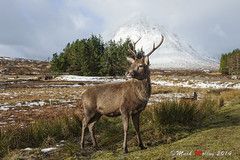 """Red Deer """"Cervus elaphus"""" (markmolloy) Tags: wild scotland scenery stag wildlife ngc deer reddeer etive cervus elaphus buchallie"""
