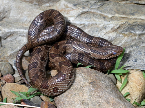 Herps of Arkansas: Prairie Kingsnake (Lampropeltis calligaster ...