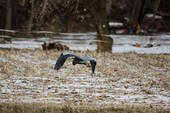 Great blue heron flying over snowy agricultural field - {description}