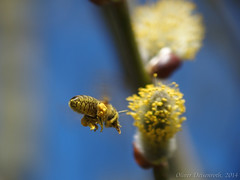 P3140866_1600px_Biene (Oliver Deisenroth) Tags: nature insect spring bee frühling raynox olympusstylus1