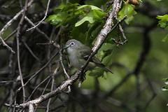 Cassin's Vireo (Vireo cassinii) (Robert Ivens) Tags: sequoianationalpark california bird aves wilderness animal wildlife nature outdoors outside