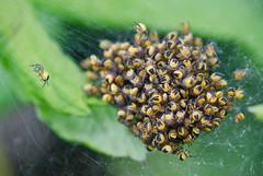 Go your own way. (Omygodtom) Tags: wild baby macro nature oregon season spider nikon dof bokeh pov group tamron90mm naturelovers d7000