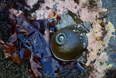 (orientalizing) Tags: california usa animals lowtide halfmoonbay pacificcoast seaanemone invertebrates tilepools