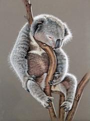 Koala Sleep (Nicole Zeug) Tags: portrait animal drawing sleep wildlife australia koala tier zeichnung schlaf