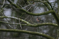 Vink - Chaffinch (aaronmeijer2) Tags: nature animals canon photography eos wildlife castricum duinreservaat