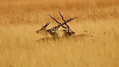 Cross- Horns : Blackbucks on vigil in the tall golden grass (JN Singh) Tags: travel nikon adventure deers tallgrass gujarat blackbucks goldensun goldengrass eveningphoto eveningshot deerhorns velavadar indiawildlife gujaratwildlife