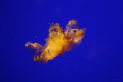 Mduse strie (Mariie76) Tags: orange aquarium bleu larochelle animaux chrysaora mduse discomedusae aquatique scyphozoa semaeostomeae chrysaoramelanaster pelagiidae melanaster aquariumlarochelle medusozoa strie mdusestrie