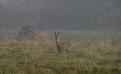 Misty vision (jump for joy2010) Tags: uk england mist male nature weather misty fog stage wildlife somerset antlers february mammals roedeer wildanimals velvets 2015 capreoluscapreolus somersetlevels