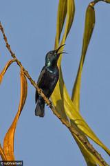 Purple Rumped Sunbird (Male) (subhramani) Tags: bird canon bangalore sunbird 400mm purplerumpedsunbird bengaluru 60d subhramani